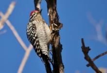 Ladder-backed Woodpecker (181) (1024x700)