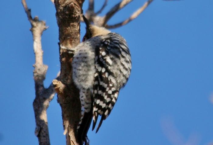 Ladder-backed Woodpecker (186) (1024x699)