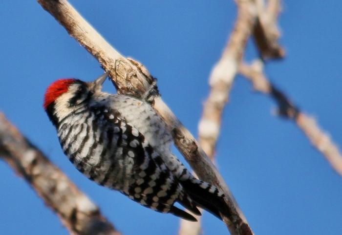 Ladder-backed Woodpecker (197) (1024x705)