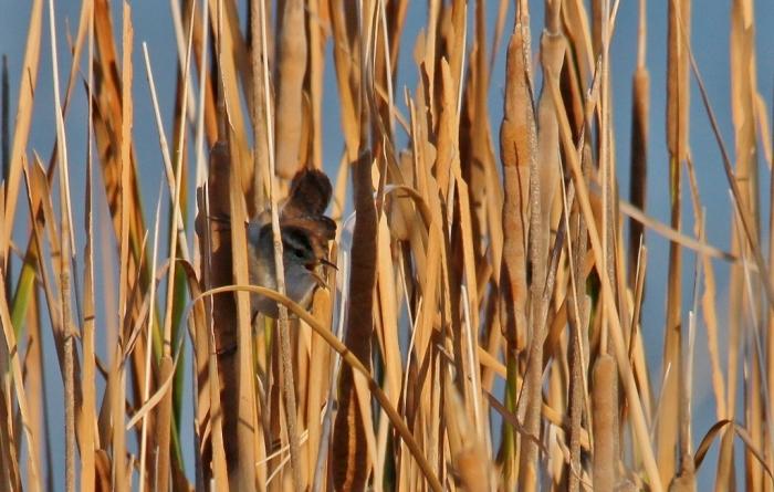 Marsh Wren (11) (1024x652)
