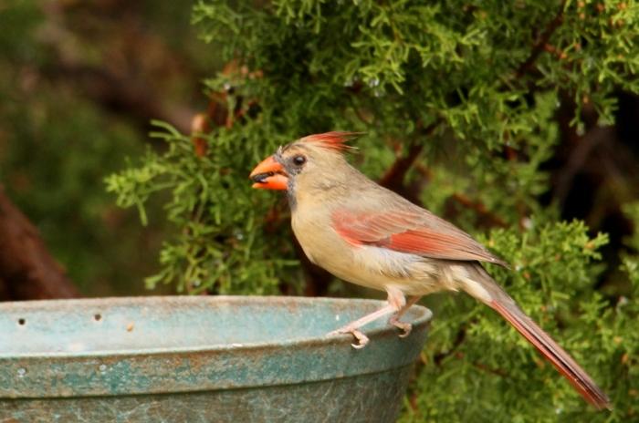 Northern Cardinal (92) (1024x679)