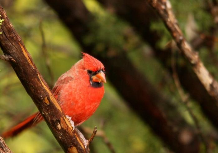 Northern Cardinal (94) (1024x718)
