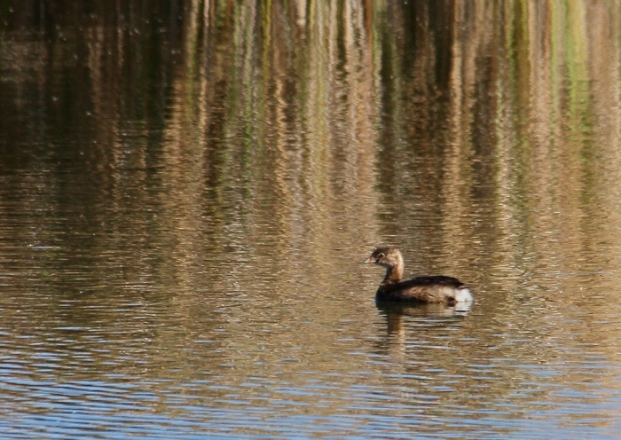 Pied-billed Grebe (9) (1024x726)