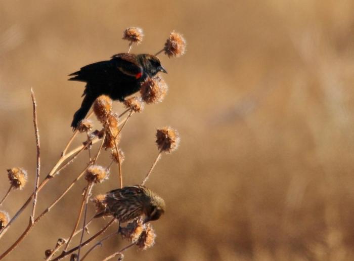 Red-winged Blackbird (83) (1024x756)