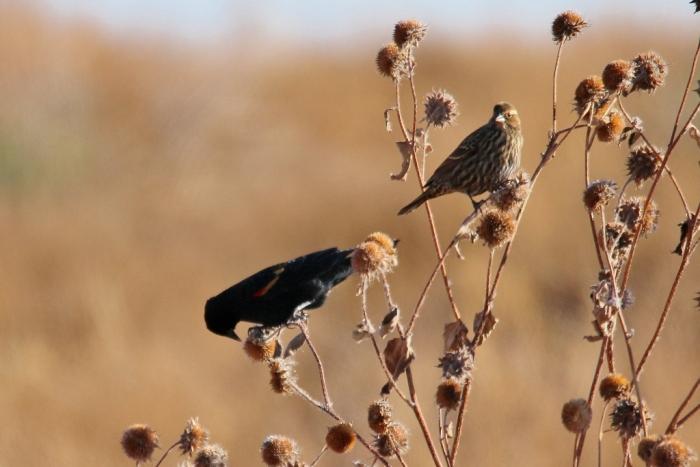 Red-winged Blackbird (85) (1024x684)