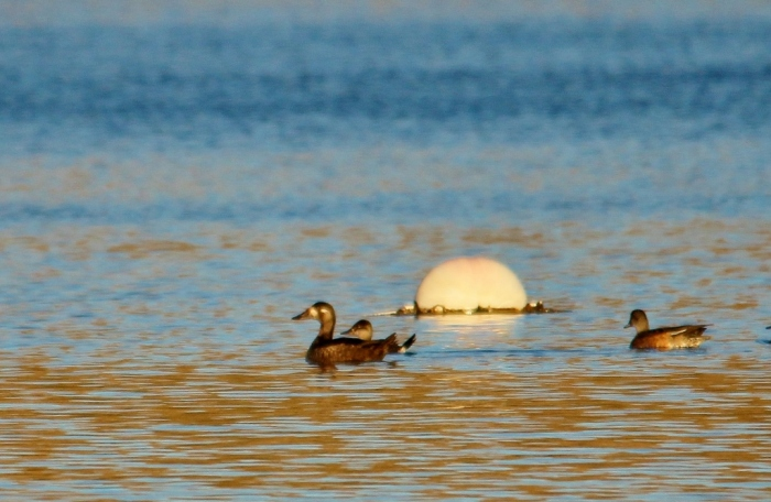 Surf Scoter, Ruddy Duck, and American Wigeon (10) (1024x668)