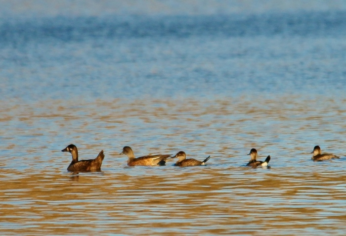 Surf Scoter, Ruddy Duck, and American Wigeon (5) (1024x699)