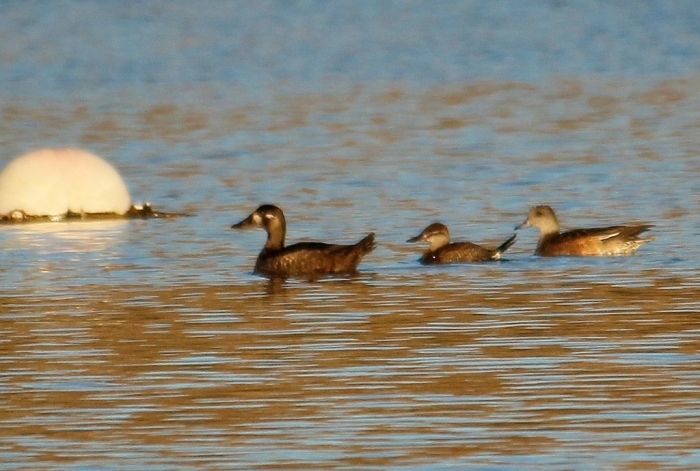 Surf Scoter, Ruddy Duck, and American Wigeon (6) (1024x690)