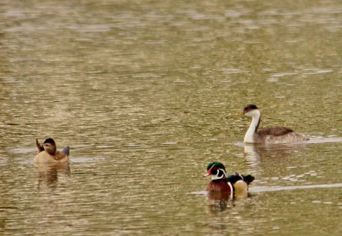 Western Grebe, Ruddy Duck, and Wood Duck (1024x707)