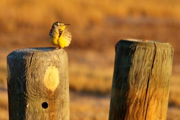 Western Meadowlark (44) (1024x685)
