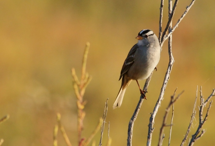 White-crowned Sparrow (96) (1024x697)