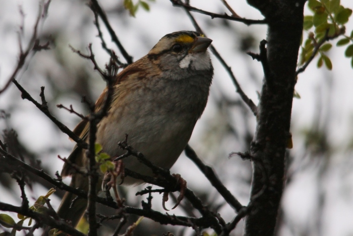 White-throated Sparrow (12) (1024x684)
