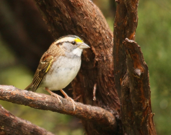 White-throated Sparrow (4) (1024x813)