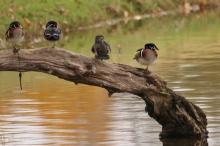 Wood Duck (1024x684)