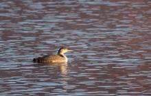 Common Loon (19)