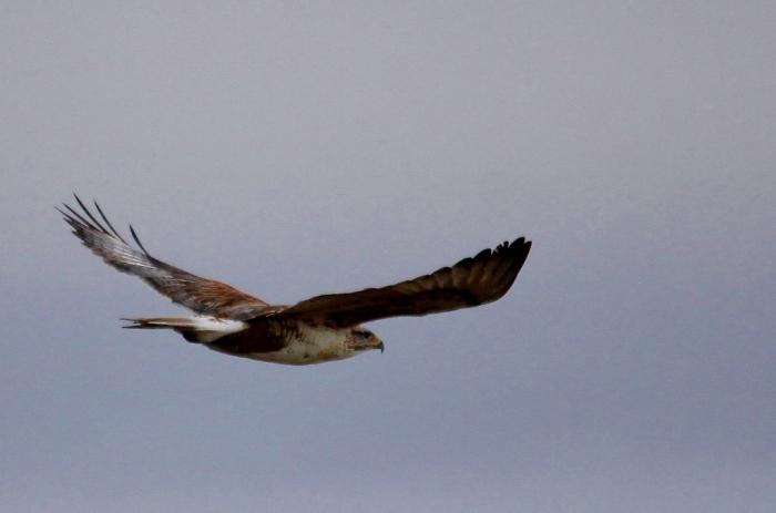 Ferruginous Hawk (11) (1024x678)