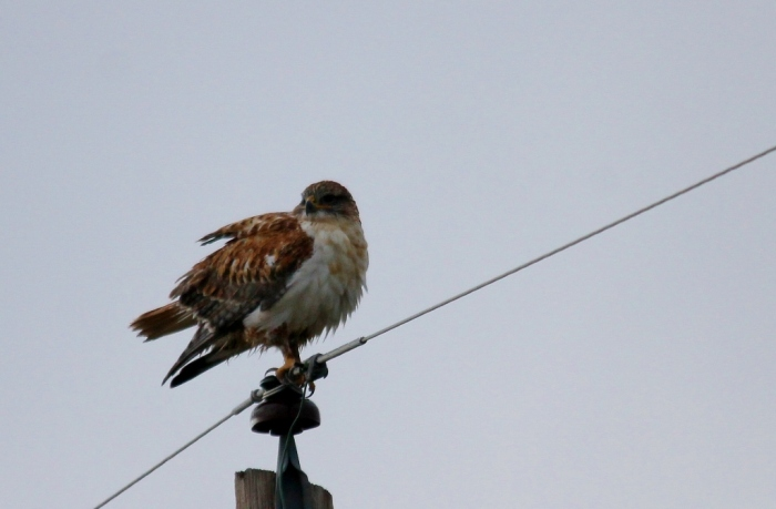 Ferruginous Hawk (18) (1024x672)