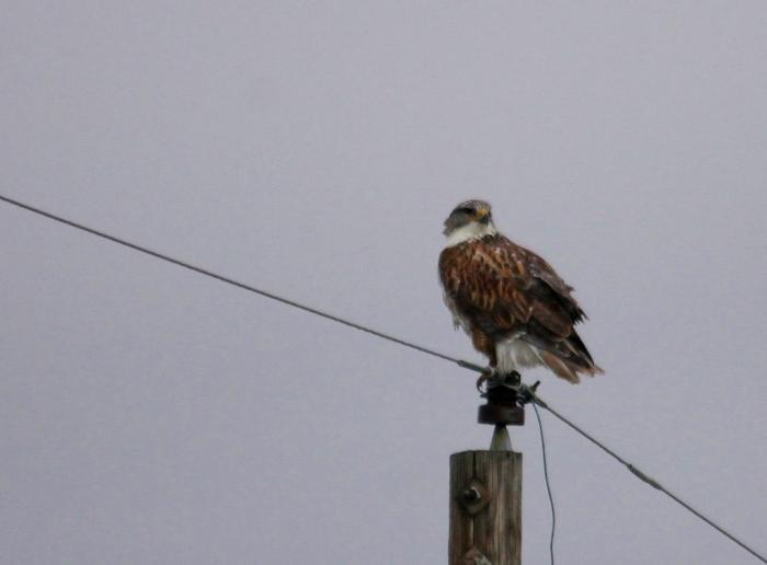 Ferruginous Hawk (3) (1024x756)