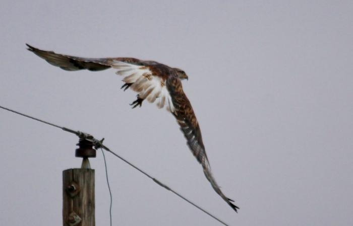 Ferruginous Hawk (5) (1024x658)