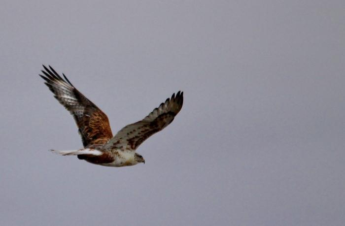 Ferruginous Hawk (7) (1024x672)