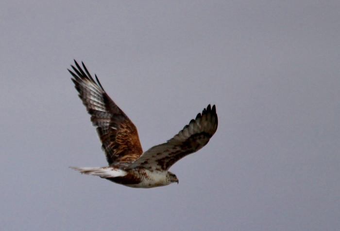 Ferruginous Hawk (8) (1024x698)