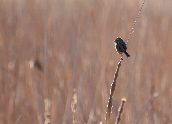 American Tree Sparrow (9)