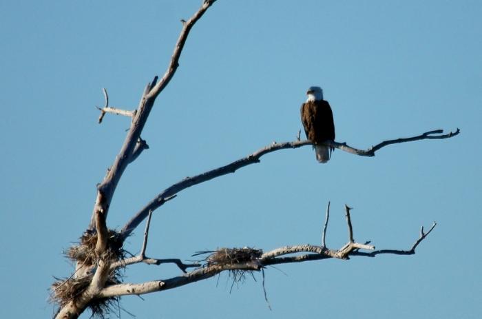 Bald Eagle (46) (1024x678)