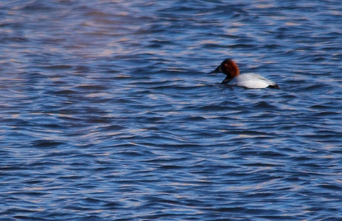 Canvasback (8) (1024x662)