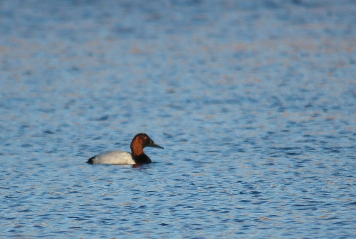 Canvasback (9)