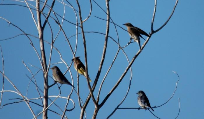 Cedar Waxwing and Mountain Bluebird (2) (1024x597)