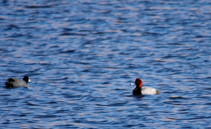 Redhead and American Coot (1024x629)