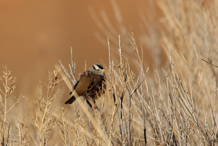 White-crowned Sparrow (105)