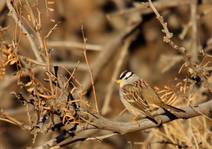 White-crowned Sparrow (106)