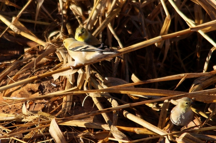 American Goldfinch (16) (1024x680)