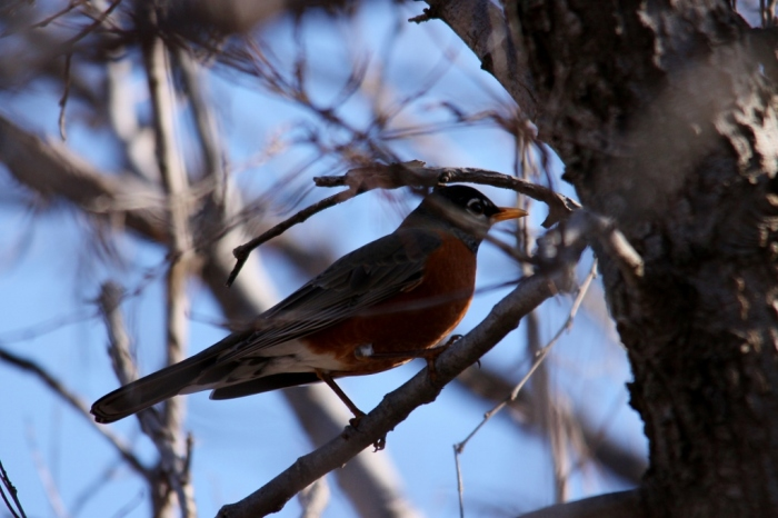 American Robin (18) (1024x683)