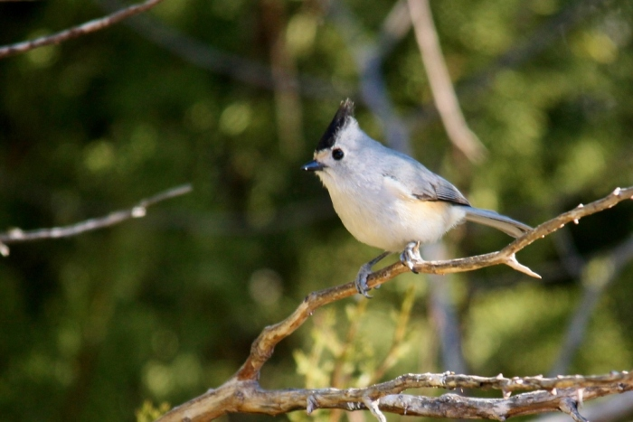 Black-crested Titmouse (1024x684)