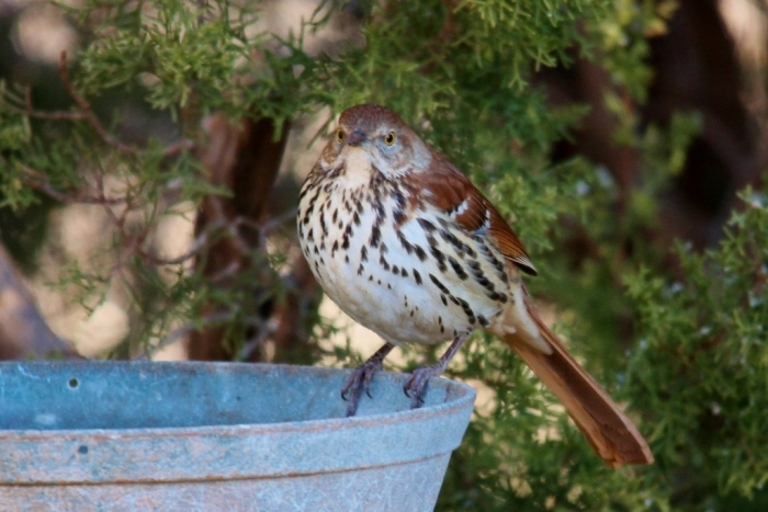 Brown Thrasher (16) (1024x684)