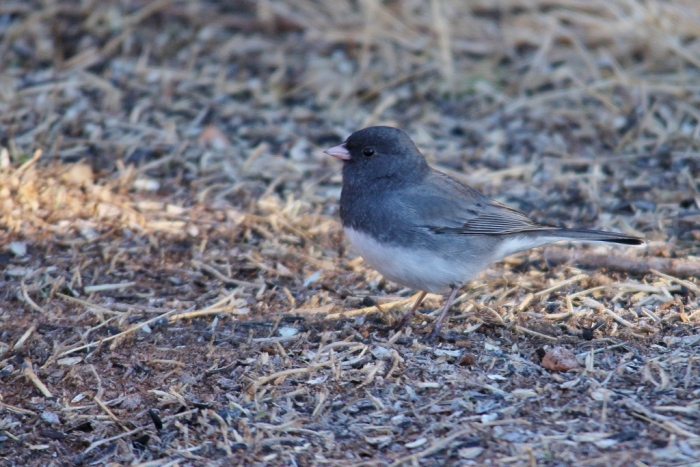 Dark-eyed Junco (28) (1024x684)