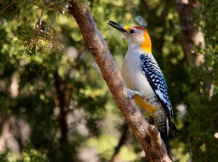 Golden-fronted Woodpecker (10) (1024x763)
