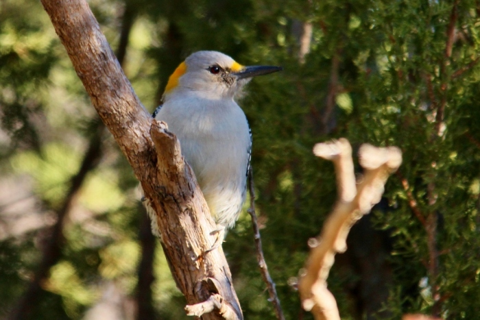 Golden-fronted Woodpecker (13) (1024x684)