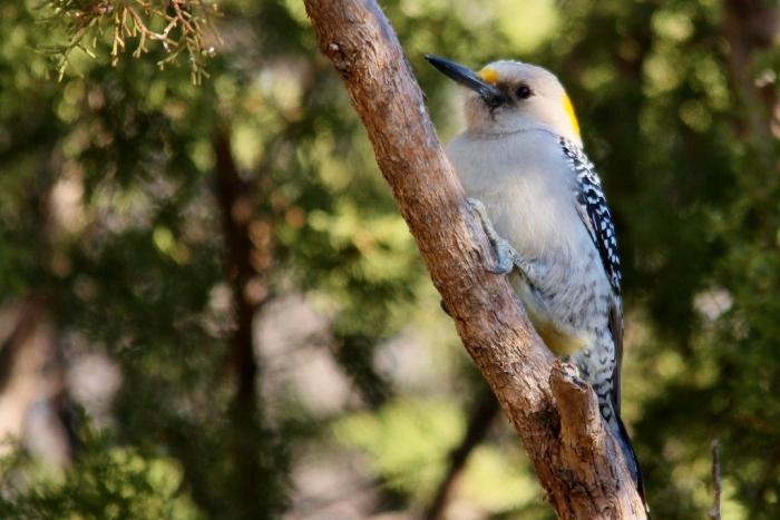Golden-fronted Woodpecker (23) (1024x684)