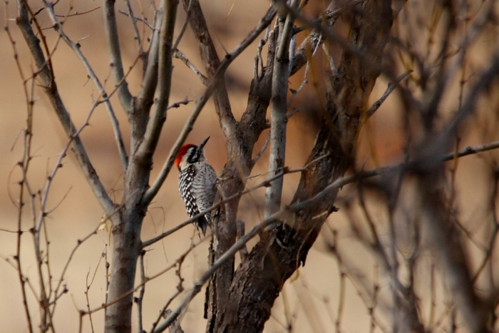 Ladder-backed Woodpecker (200) (1024x684)