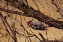 Ladder-backed Woodpecker (203) (1024x684)