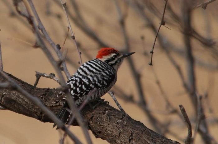 Ladder-backed Woodpecker (207) (1024x678)