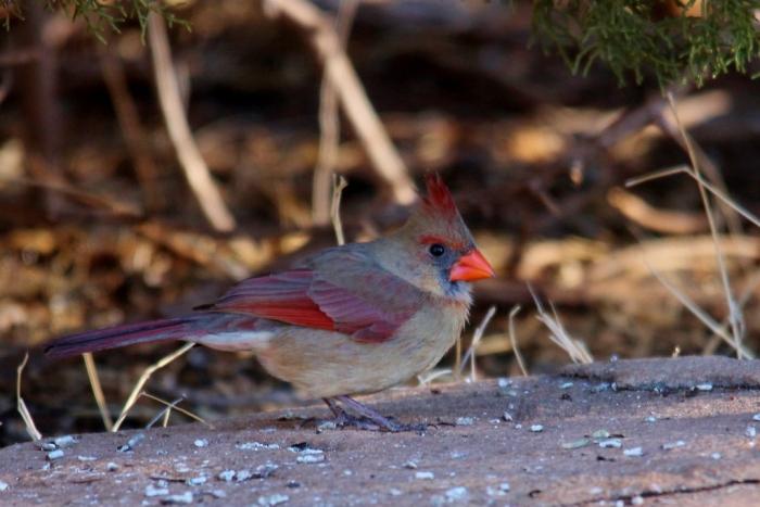 Northern Cardinal (100) (1024x684)