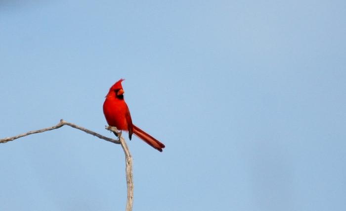 Northern Cardinal (96) (1024x624)