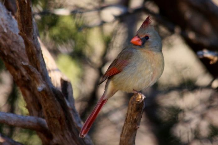 Northern Cardinal (99) (1024x684)