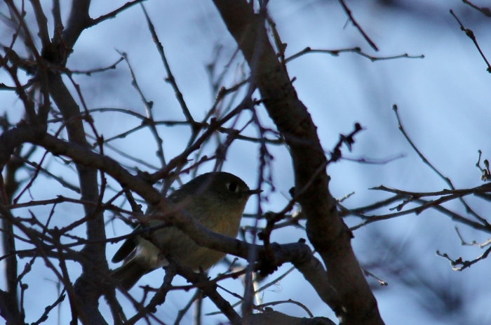 Ruby-crowned Kinglet (1024x678)
