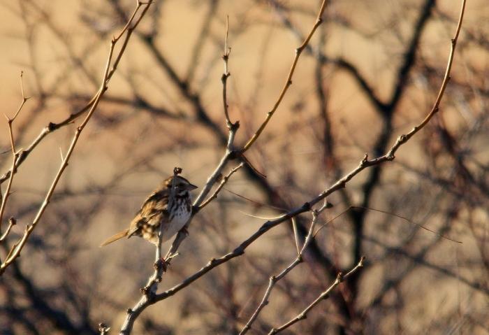Song Sparrow (53) (1024x701)