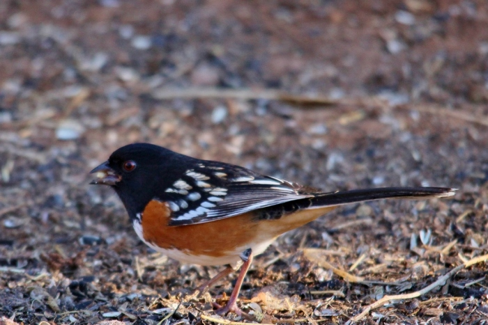 Spotted Towhee (16) (1024x684)